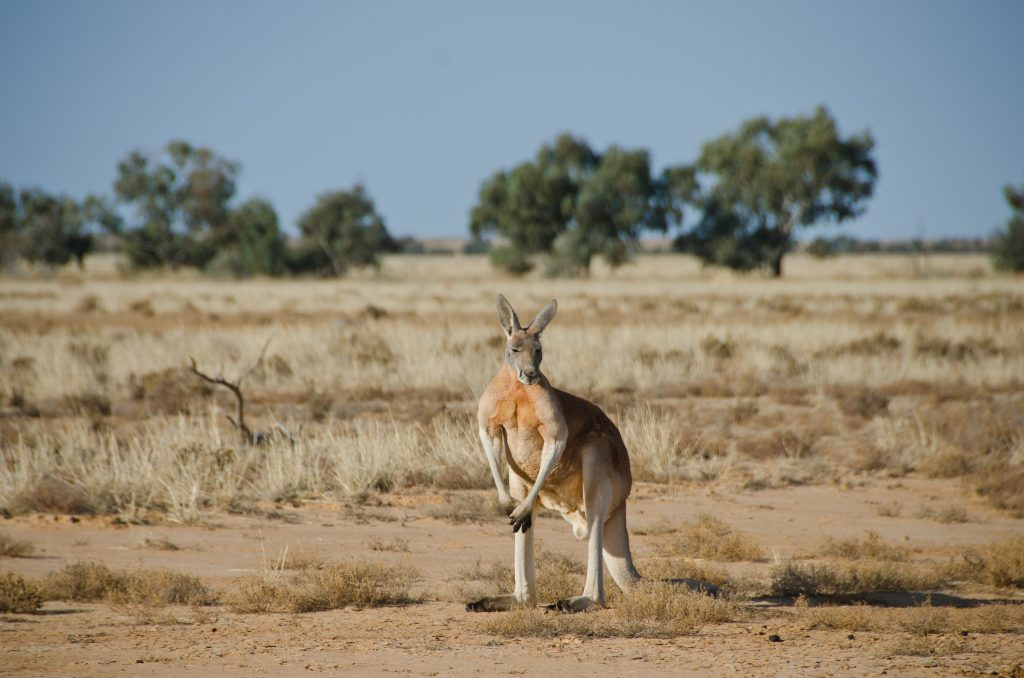 A photograph of a large male red kangaroo in the Australian outback.
